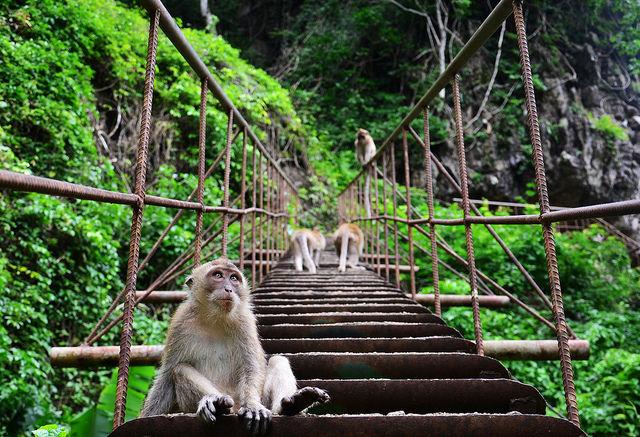 malasia-monkey-dorne-2