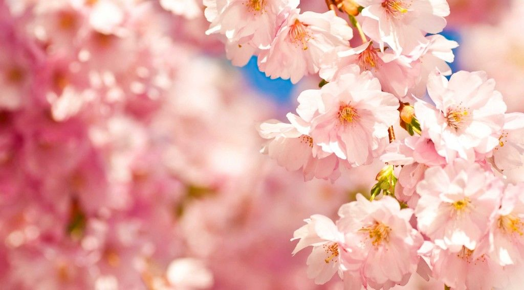 150320_tokyo-cherry-blossoms1