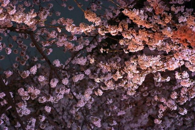 tokyo-cherry-blossoms1