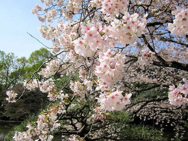 tokyo-cherry-blossoms11