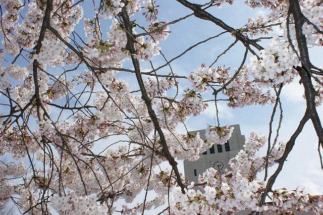 tokyo-cherry-blossoms12