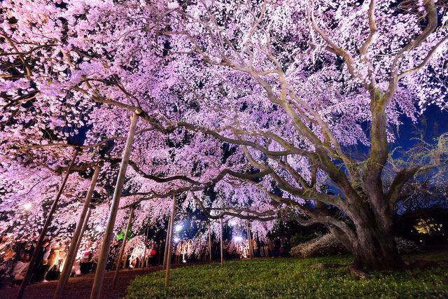 tokyo-cherry-blossoms3