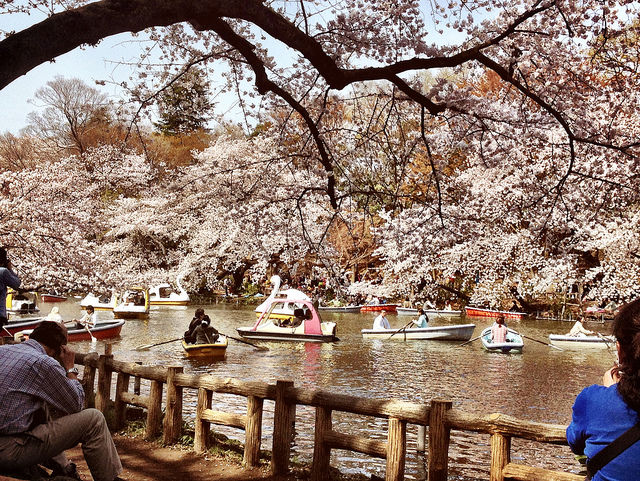 tokyo-cherry-blossoms4