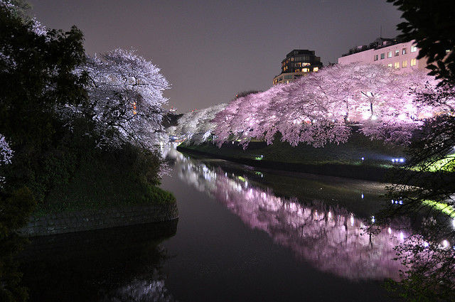 tokyo-cherry-blossoms8
