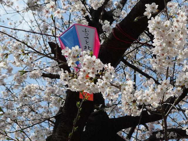 tokyo-cherry-blossoms9