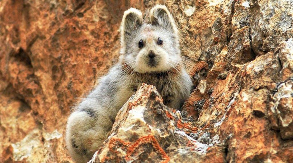 rare-endang1ered-animal-teddy-bear-magic-rabbit-ili-pika-china-1