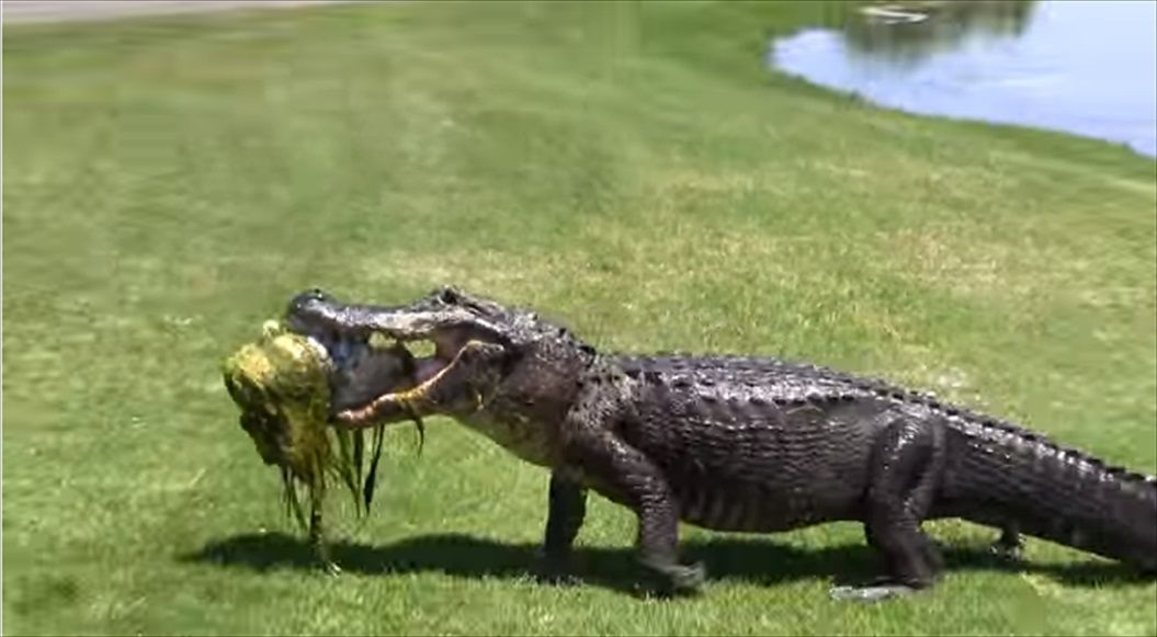 FireShot Capture 1382 - Oyster Bay Golf Links - Alligator - YouTube_ - https___www.youtube.com_watch_R