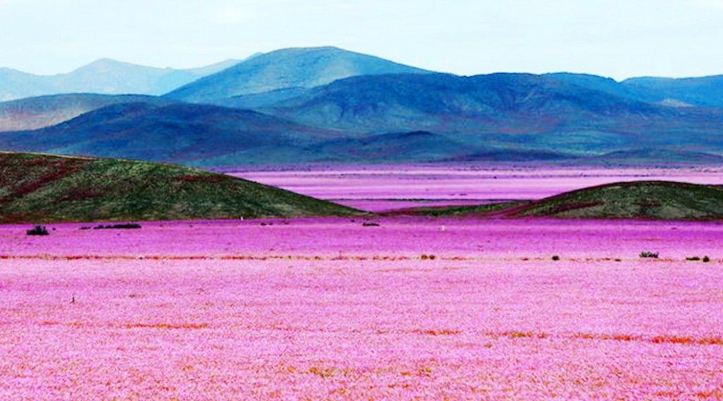 desertflowering