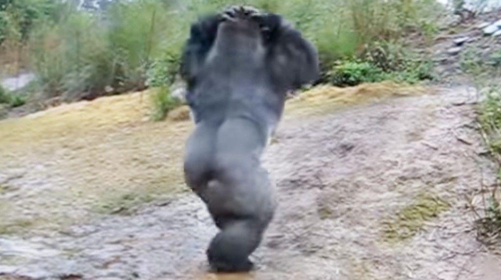 gorilla-012015-11-24 20.13.03