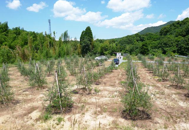 kyushu-olive160324-05