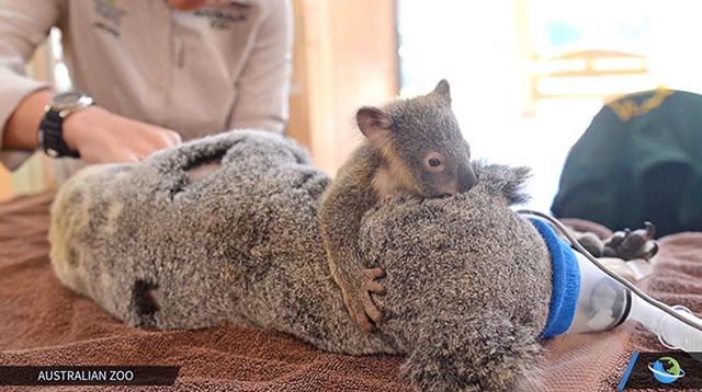 baby-koala-2