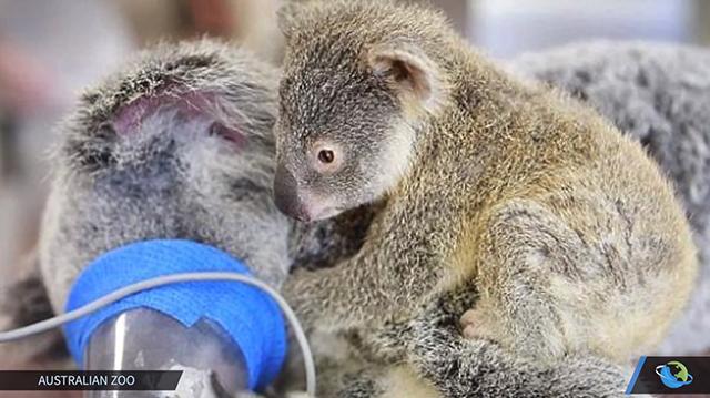 baby-koala-3