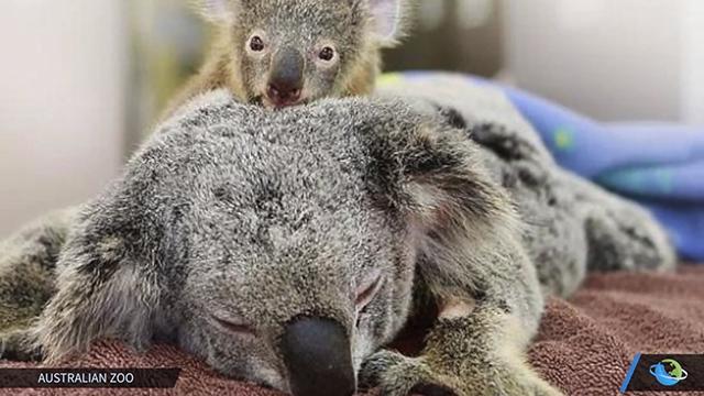 baby-koala-1