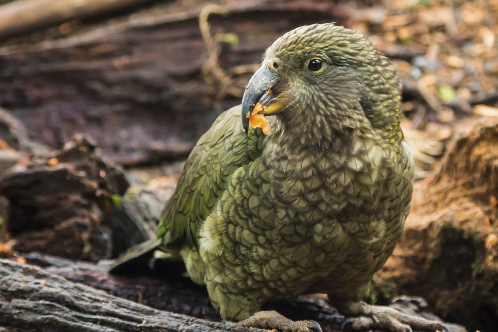 Kakapo00121