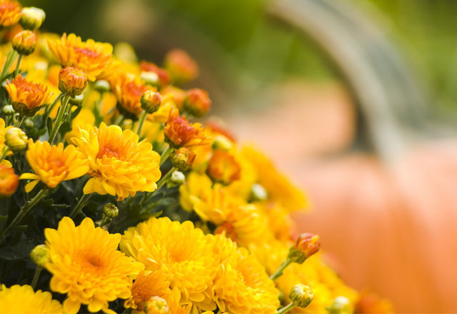 Mums and Pumpkins - Avenue Floral Shop - Toronto, Ontario (Oct 5th, 2008)