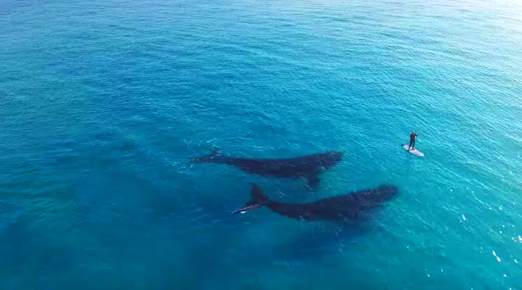 【奇跡】SUPしてたらクジラが2頭ついてきた!