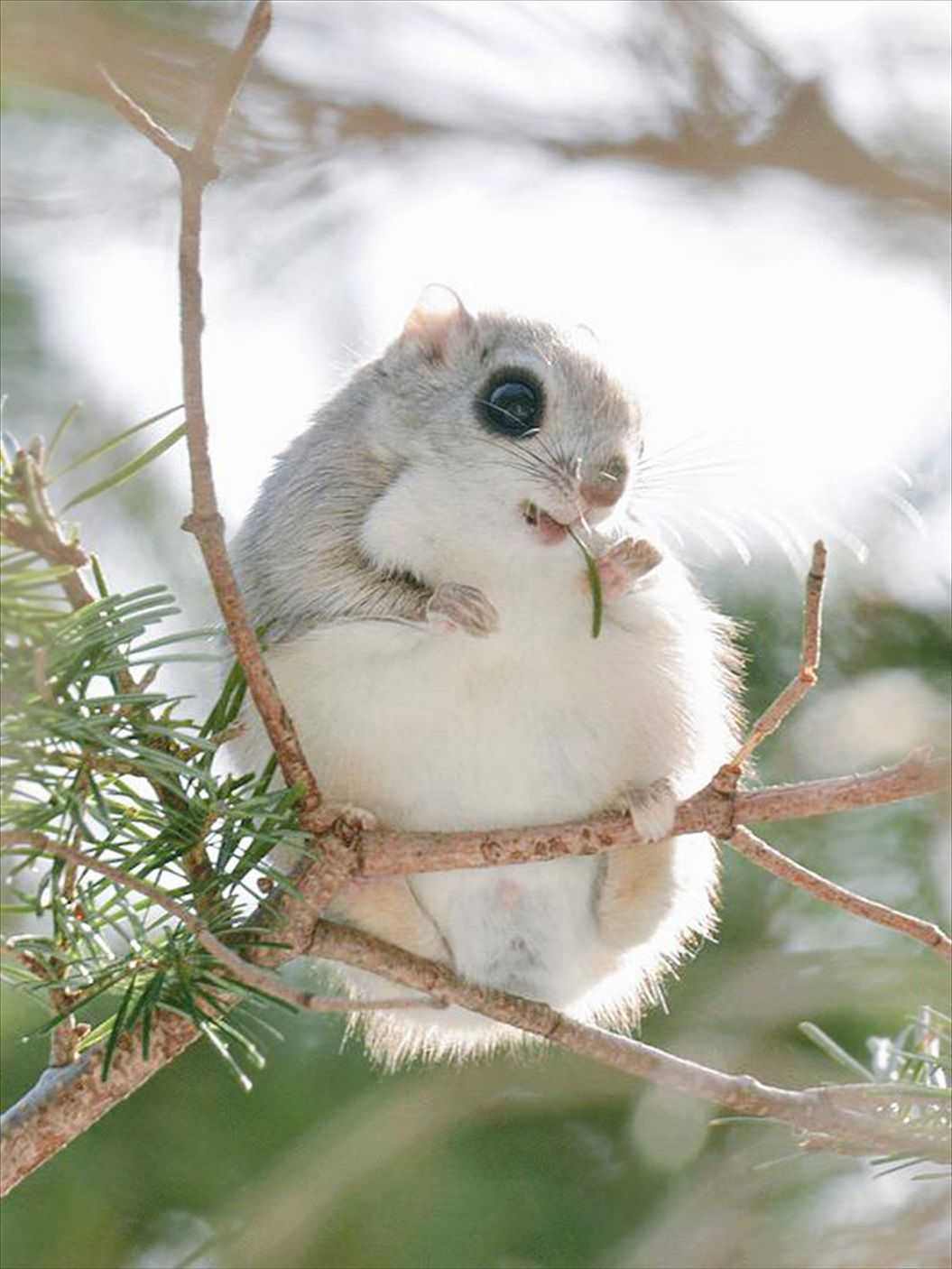 siberian-japanese-dwarf-flying-squirrel-1_R