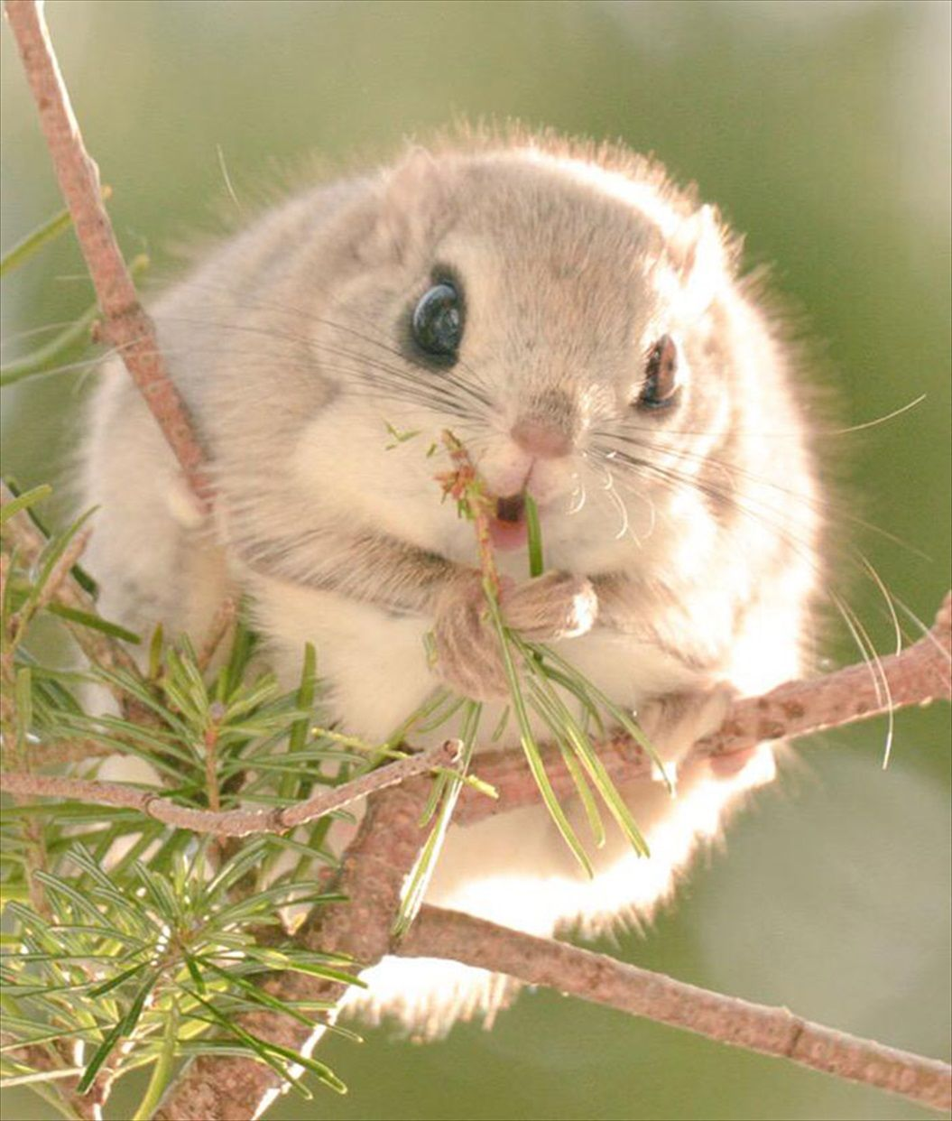siberian-japanese-dwarf-flying-squirrel-2_R
