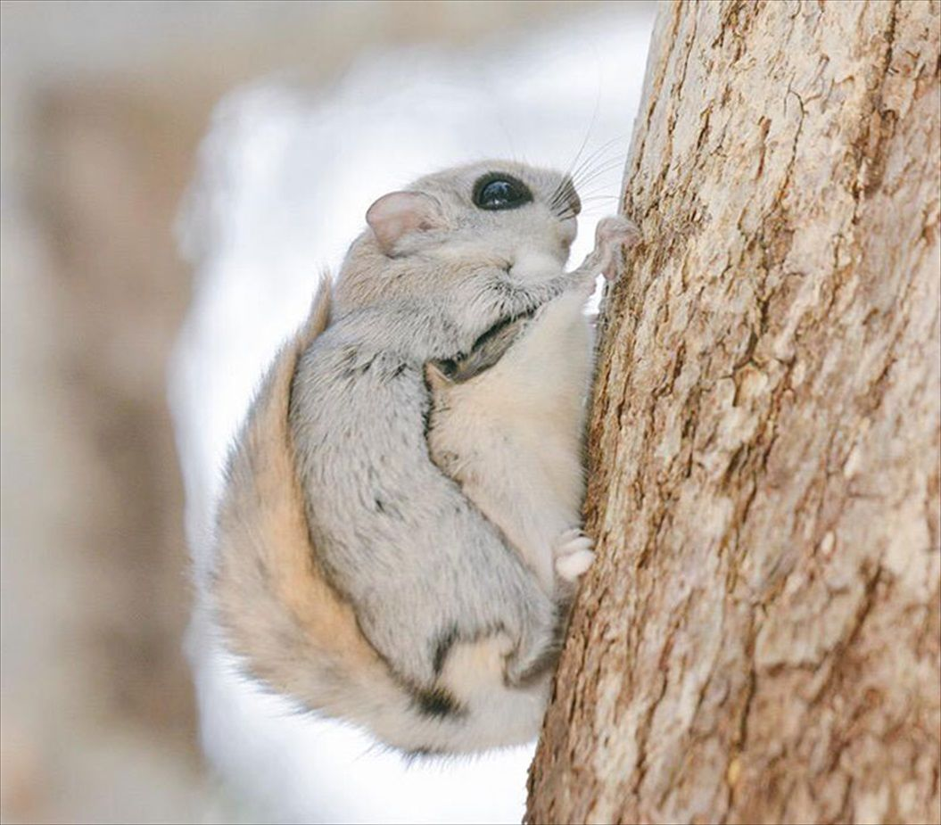 siberian-japanese-dwarf-flying-squirrel-3_R