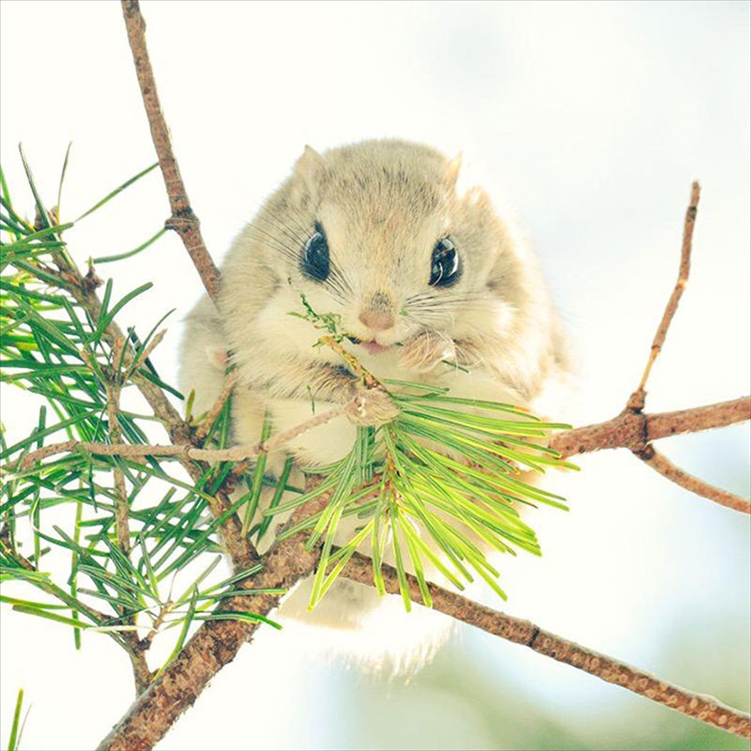 siberian-japanese-dwarf-flying-squirrel-4_R