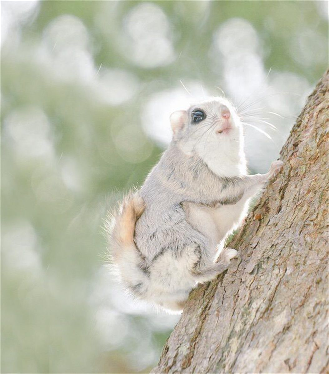 siberian-japanese-dwarf-flying-squirrel-5_R