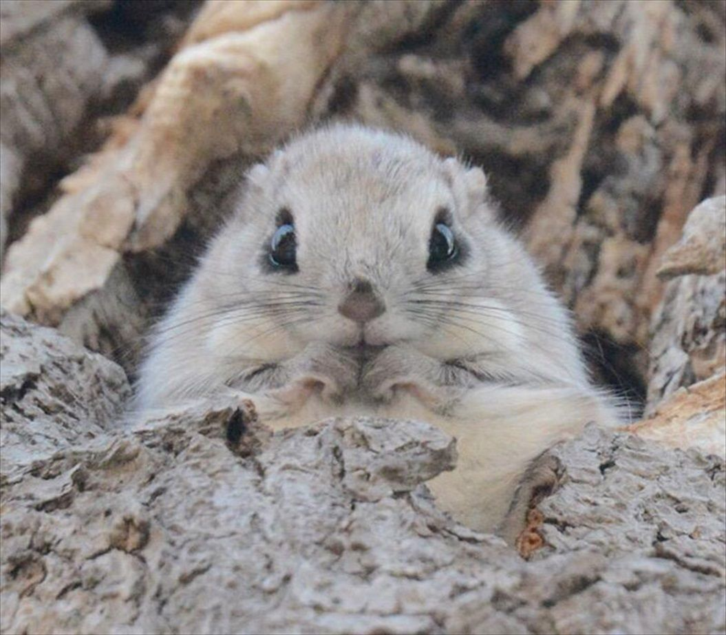 siberian-japanese-dwarf-flying-squirrel-6_R