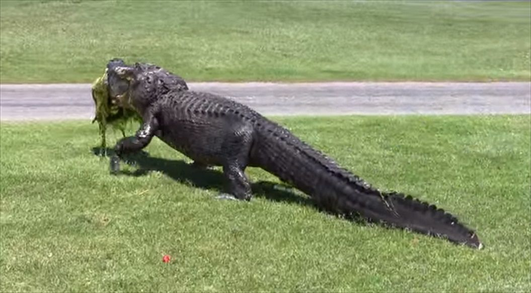 FireShot Capture 1386 - Oyster Bay Golf Links - Alligator - YouTube_ - https___www.youtube.com_watch_R