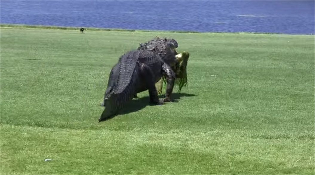 FireShot Capture 1387 - Oyster Bay Golf Links - Alligator - YouTube_ - https___www.youtube.com_watch_R