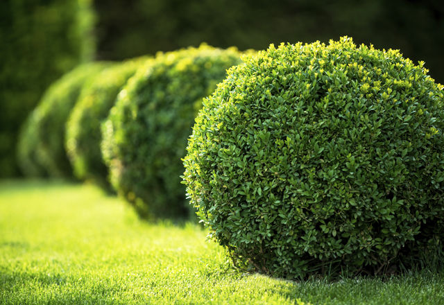 boxwood bushes round shape,formal park