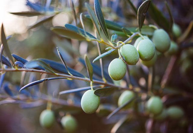 kyushu-olive160324-02